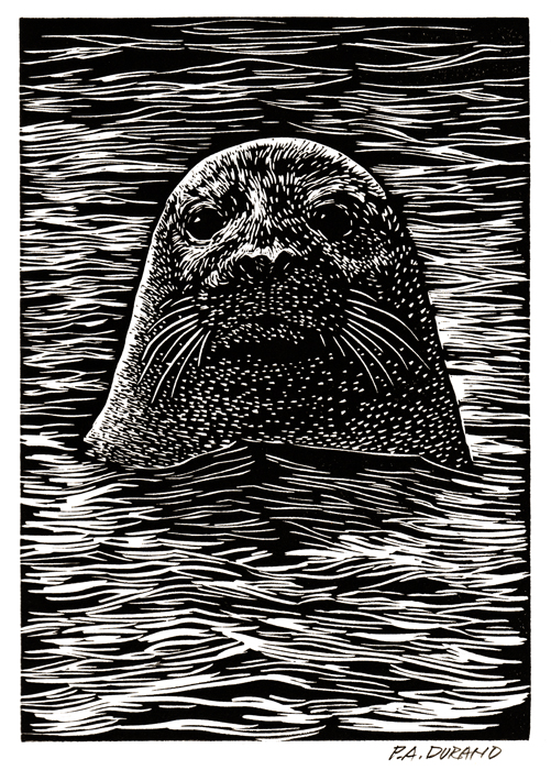 "Lino-cut ""HARBOR SEAL"" By Peter A. Durand"